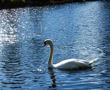 swan-1224573__180