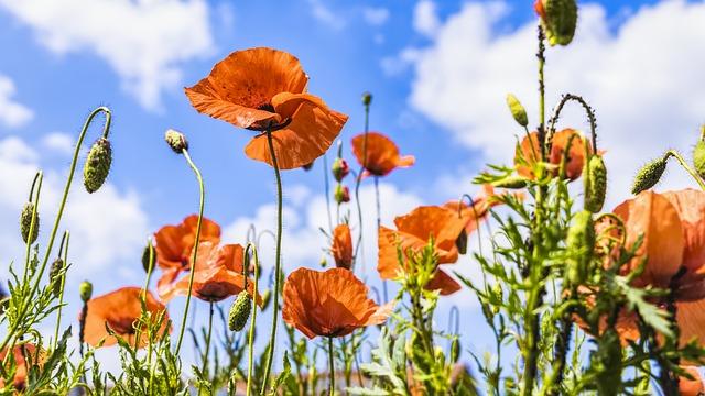 poppies-3422252_640